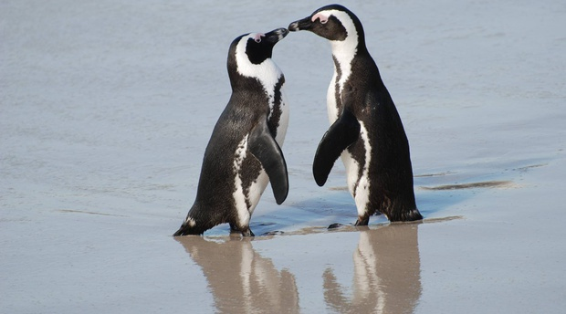 The Endangered African Penguin situated at the world famous Boulders Beach